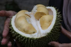 Durian Frucht geöffnet