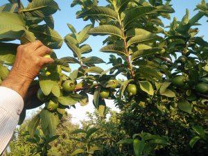 Guava-Guavenbaum-Hand-Mann-Pflücken